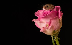 Picture flower, macro, rose, Bud, mouse, black background, rodent, The mouse is tiny