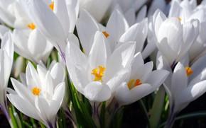 Picture macro, joy, flowers, nature, tenderness, beauty, plants, spring, crocuses, primroses, cottage, flora, saffron, bulbous, snow ...