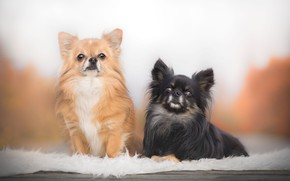 Wallpaper a couple, two dogs, Chihuahua
