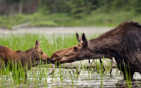 Picture nature, lake, moose