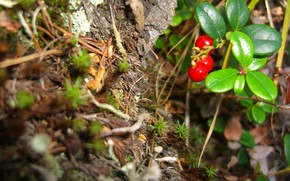 Picture nature, plants, cloudberry, tundra