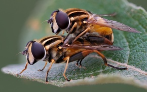 Picture insects, pair, hoverflies