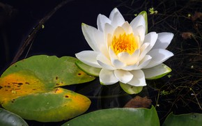 Picture water, Nymphaeum, water Lily