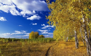 Picture forest, the sky, grass, birch
