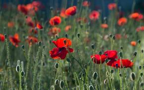 Picture greens, field, summer, flowers, glade, bright, Mac, Maki, petals, red, buds, al, poppy field