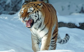 Picture winter, snow, tiger, predator, mouth, grin, the Amur tiger