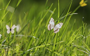 Picture butterfly, spring, weed