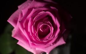 Picture macro, rose, color, beautiful