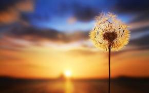 Picture dandelion, blurred background, sunset