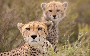 Picture look, Cheetah, cub, wild cat