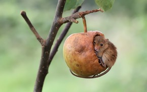 Picture Apple, branch, mouse, the mouse is tiny