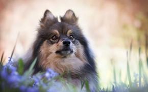 Picture look, flowers, portrait, dog, face, bokeh, Spitz