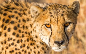 Picture cat, look, face, Cheetah, wild cats, wildlife