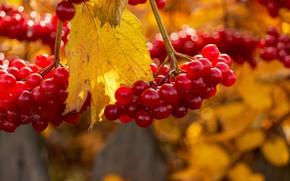 Picture autumn, berries, Kalina