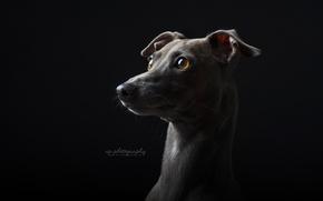 Wallpaper background, look, dog
