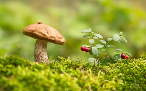 Wallpaper boletus, mushroom, cranberries