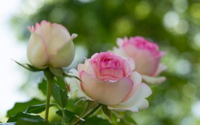 Picture macro, glare, roses, buds