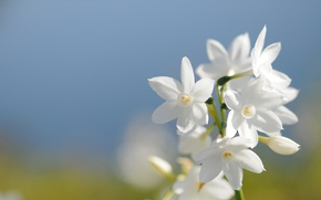 Picture the sky, spring, petals, Narcissus