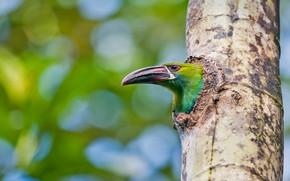 Picture tree, bird, beak, Ecuador, will toucanet