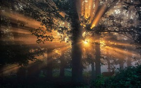 Picture forest, trees, morning, rays of light