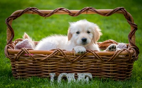 Wallpaper Retriever, puppy, basket, grass