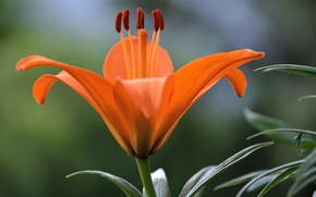 Picture Macro, Lily, Lily, Macro