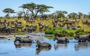 Picture grass, trees, Savannah, drink, in the water, the herd, Zebra, on the shore, striped