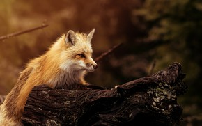 Picture background, wool, muzzle, Fox