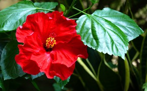 Picture Red, Flower, Bush, Flowering, Hibiscus