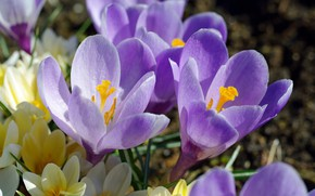 Picture macro, joy, flowers, nature, beauty, plants, crocuses, primroses, the color purple, flora, bulbous
