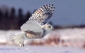 Wallpaper snowy owl, the rise, winter, white owl, snow, flight, owl