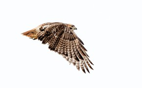 Picture wings, Red-tailed Buzzard, Red Tailed Hawk