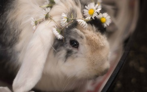 Wallpaper flowers, chamomile, rabbit, wreath