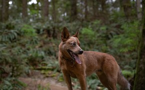 Picture forest, language, dog