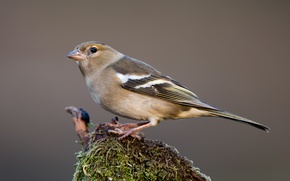 Picture birds, female, Chaffinch