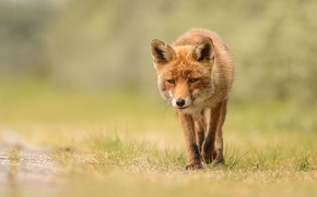 Picture grass, look, face, background, Fox, red, walk, wildlife, Fox
