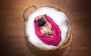 Picture background, basket, dog