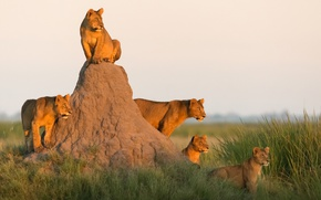 Wallpaper lions, the cubs, pride, Africa, mound