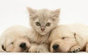 Picture puppies, Labrador, Kotek