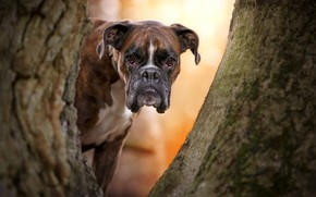 Picture look, face, tree, dog, Boxer