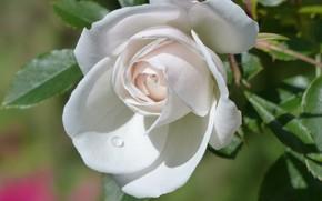 Picture rose, drop, petals, Bud, white rose