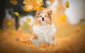 Wallpaper dog, bokeh, Shetland Sheepdog, Sheltie, autumn, leaves