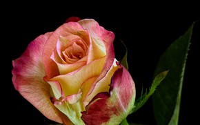 Picture rose, Bud, beauty