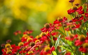 Wallpaper summer, flowers, nature, Echinacea