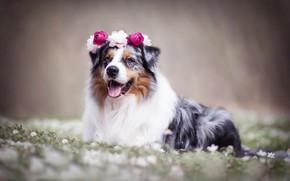Picture flowers, dog, wreath, bokeh, Australian shepherd, Aussie