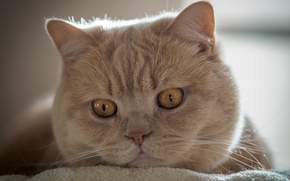 Picture cat, look, muzzle, Kote, British Shorthair