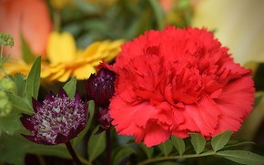 Picture macro, Carnation, Astrantsiya, Red carnation