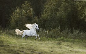 Wallpaper forest, white, movement, horse, horse, speed, stallion, meadow, running, mane, jump, gallop