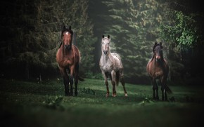 Picture forest, glade, horses, horse, trio, Trinity