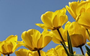 Picture the sky, petals, tulips, buds, yellow tulips